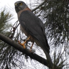 Accipiter cirrocephalus (Collared Sparrowhawk) at West Wodonga, VIC - 13 Aug 2020 by Michelleco