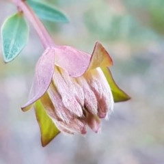 Pimelea linifolia subsp. linifolia (Queen of the Bush, Slender Rice-flower) at Dryandra St Woodland - 13 Aug 2020 by tpreston