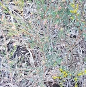 Pimelea linifolia subsp. linifolia at Dryandra St Woodland - 13 Aug 2020