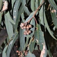 Eucalyptus paniculata (Grey Ironbark) at Bamarang Nature Reserve - 12 Aug 2020 by plants