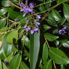 Hardenbergia violacea (False sarsaparilla) at Bamarang Nature Reserve - 12 Aug 2020 by plants