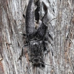 Crepidomenus fulgidus (Click beetle) at ANBG - 28 Jul 2020 by TimL