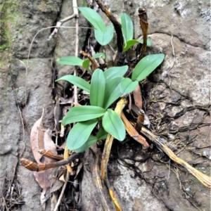 Dendrobium speciosum var. speciosum at Bamarang Nature Reserve - 13 Aug 2020
