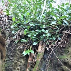 Ficus rubiginosa (Port Jackson or Rusty Fig) at Bamarang Nature Reserve - 12 Aug 2020 by plants