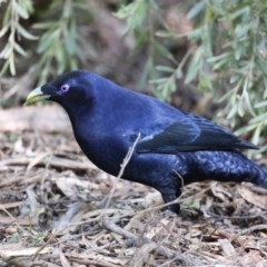 Ptilonorhynchus violaceus (Satin Bowerbird) at ANBG - 13 Aug 2020 by jbromilow50
