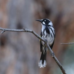 Phylidonyris novaehollandiae (New Holland Honeyeater) at ANBG - 13 Aug 2020 by jbromilow50