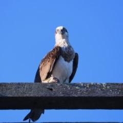 Pandion haliaetus (Osprey) at Merimbula, NSW - 13 Aug 2020 by szr