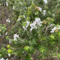 Westringia fruticosa (Native Rosemary) at One Track For All - 13 Aug 2020 by Stewart