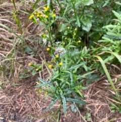 Senecio hispidulus (Hill Fireweed) at One Track For All - 13 Aug 2020 by Stewart