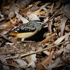 Pardalotus punctatus (Spotted Pardalote) at ANBG - 12 Aug 2020 by dimageau