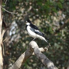 Grallina cyanoleuca (Magpie-lark) at Isaacs Ridge and Nearby - 13 Aug 2020 by Mike