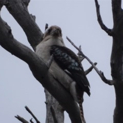 Dacelo novaeguineae (Laughing Kookaburra) at Mount Mugga Mugga - 14 Aug 2020 by Mike