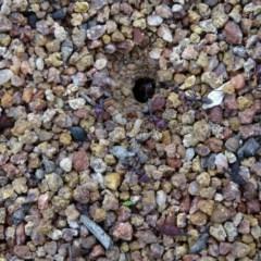 Iridomyrmex purpureus (Meat Ant) at Mount Mugga Mugga - 14 Aug 2020 by Mike