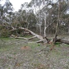 Eucalyptus bridgesiana (Apple Box) at Mount Mugga Mugga - 14 Aug 2020 by Mike