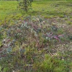 Indigofera australis subsp. australis (Australian Indigo) at Wodonga - 14 Aug 2020 by DMeco