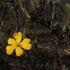 Hibbertia obtusifolia (Grey Guinea-flower) at Tuggeranong Hill - 18 Mar 2020 by michaelb