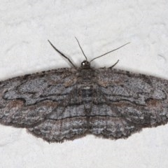 Ectropis (genus) (An engrailed moth) at Ainslie, ACT - 14 Aug 2020 by jbromilow50