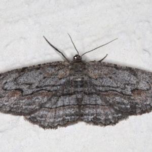 Ectropis (genus) at Ainslie, ACT - 14 Aug 2020