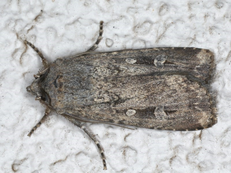 Agrotis infusa at Ainslie, ACT - 14 Aug 2020