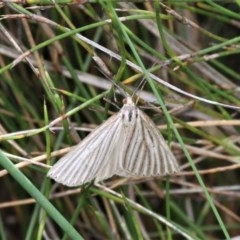 Amelora oritropha (Alpine Striped Cape-moth) at Gibraltar Pines - 29 Feb 2020 by HarveyPerkins