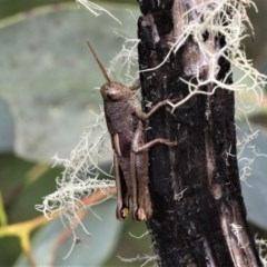 Percassa rugifrons (Mountain Grasshopper) at Gibraltar Pines - 29 Feb 2020 by HarveyPerkins