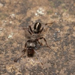 Rhytidoponera sp. (genus) (Rhytidoponera ant) at ANBG - 14 Aug 2020 by rawshorty