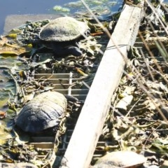Chelodina (Chelodina) longicollis (Eastern long-necked turtle) at Wairo Beach and Dolphin Point - 14 Aug 2020 by CBrandis