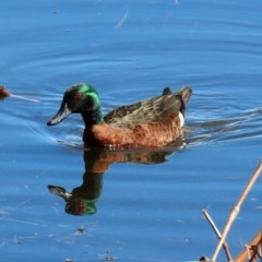 Anas castanea (Chestnut Teal) at Fyshwick, ACT - 13 Aug 2020 by RodDeb