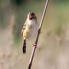 Cisticola exilis (Golden-headed Cisticola) at Jerrabomberra Wetlands - 13 Aug 2020 by RodDeb