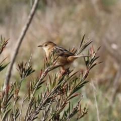 Cisticola exilis at Jerrabomberra Wetlands - 13 Aug 2020