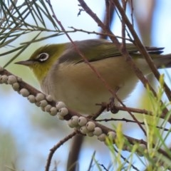 Zosterops lateralis (Silvereye) at Jerrabomberra Wetlands - 13 Aug 2020 by RodDeb