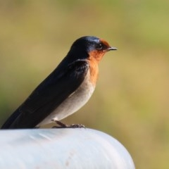 Hirundo neoxena (Welcome Swallow) at Jerrabomberra Wetlands - 13 Aug 2020 by RodDeb