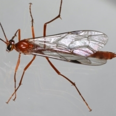 Netelia sp. (genus) at Ainslie, ACT - 14 Aug 2020