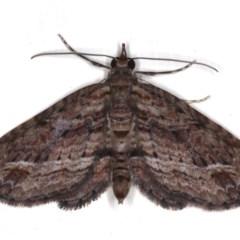 Chloroclystis filata (Filata Moth, Australian Pug Moth) at Ainslie, ACT - 14 Aug 2020 by jbromilow50