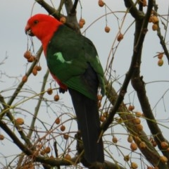Alisterus scapularis (Australian King-parrot) at South Wolumla, NSW - 17 Aug 2011 by SueMuffler