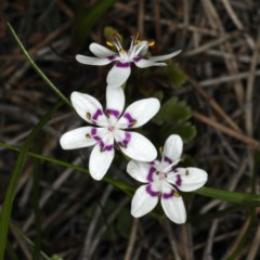 Wurmbea dioica subsp. dioica (Early Nancy) at Mount Ainslie - 14 Aug 2020 by jbromilow50