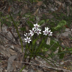 Wurmbea dioica subsp. dioica at Mount Ainslie - 14 Aug 2020