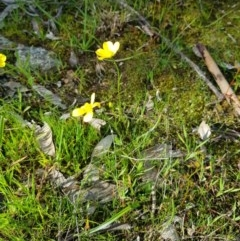 Ranunculus sp. (Buttercup) at Nail Can Hill - 14 Aug 2020 by erika