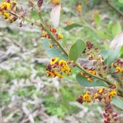 Daviesia latifolia (Hop Bitter-Pea) at Nail Can Hill - 14 Aug 2020 by erika