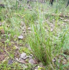 Stackhousia monogyna (Creamy Candles) at Nail Can Hill - 14 Aug 2020 by erika
