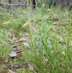 Stackhousia monogyna at Nail Can Hill - 15 Aug 2020