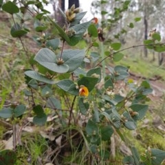 Platylobium formosum (Handsome Flat-pea) at Nail Can Hill - 14 Aug 2020 by erika