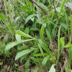 Plantago varia at Nail Can Hill - 15 Aug 2020