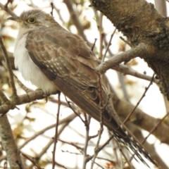Cacomantis pallidus (Pallid Cuckoo) at Indigo Valley, VIC - 15 Aug 2020 by Michelleco