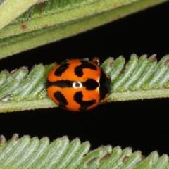 Coccinella transversalis (Transverse Ladybird) at Ainslie, ACT - 14 Aug 2020 by jbromilow50