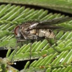 Helina sp. (genus) (Muscid fly) at Ainslie, ACT - 14 Aug 2020 by jbromilow50