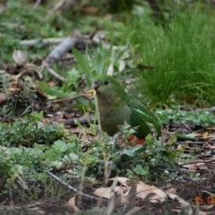 Alisterus scapularis (Australian King-Parrot) at Fowles St. Woodland, Weston - 14 Aug 2020 by AliceH