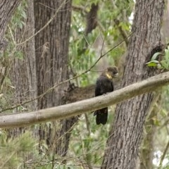 Calyptorhynchus lathami (Glossy Black-Cockatoo) at Wingello - 14 Aug 2020 by Aussiegall