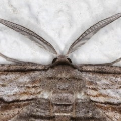 Euphronarcha luxaria (Striated Bark Moth) at Ainslie, ACT - 15 Aug 2020 by jbromilow50
