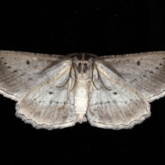 Euphronarcha luxaria at Ainslie, ACT - 15 Aug 2020
